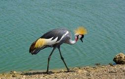 увенчанный кран птицы черный Стоковая Фотография RF