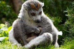 Увенчанный лемур дублирует рожденное на зоопарке Бристоля, Великобритании Стоковое Фото