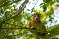 Увенчанный национальный парк Ankarana лемура, Мадагаскар Стоковые Изображения RF