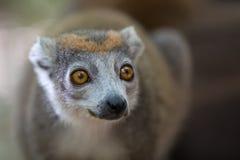 Увенчанный национальный парк Ankarana лемура Стоковая Фотография