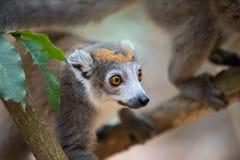 Увенчанный национальный парк Ankarana лемура Стоковые Фотографии RF