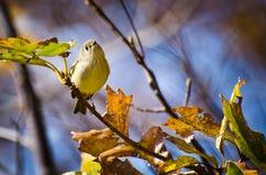 увенчанный петь kinglet рубиновый Стоковые Фото