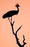 Увенчанный силуэт птицы крана Стоковые Изображения RF