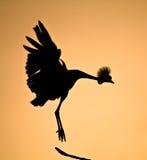 Увенчанный силуэт птицы крана Стоковое Изображение