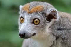 увенчанный lemur Стоковые Изображения