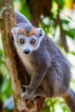 увенчанный lemur стоковое изображение rf