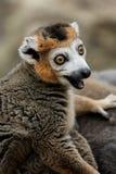 увенчанный lemur Стоковая Фотография