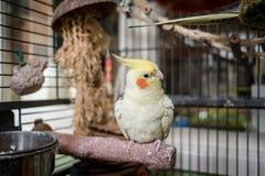 Увиденный cockatiel взрослого мужчины садился на насест внутри его раскрытая клетка птицы, расположенная в консерватории стоковое изображение rf