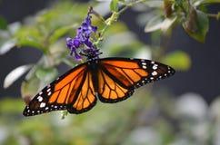 Увлекая оранжевая бабочка наместника на фиолетовом цветке Стоковые Изображения