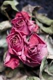 увяданные розы Стоковые Фотографии RF