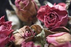 увяданные розы Стоковые Изображения RF