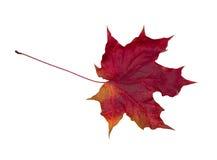 увяданный красный цвет листьев Стоковая Фотография RF