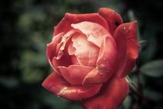 увяданный пинк цветка Стоковые Изображения RF