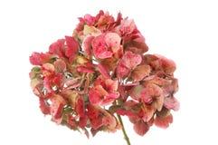 Увяданный цветок htdrangea Стоковое Изображение