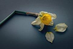 Увядая желтый цветок на предпосылке темной черноты стоковые изображения rf