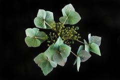 Увядая цветок hygrangea против черноты Стоковая Фотография