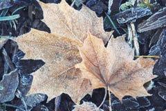 2 увядая forsted кленового листа на замороженной траве Стоковая Фотография