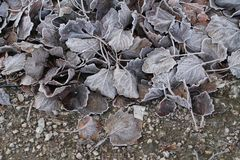 Увядшие листья с изморозью стоковая фотография