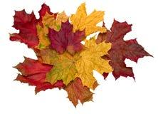 увял немногий клен листьев Стоковое Изображение