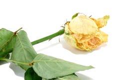 Увяданная роза желтого цвета Стоковые Изображения RF