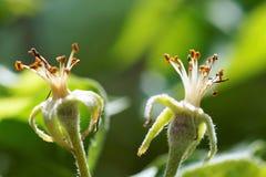 Увяданное цветение яблока Стоковое Изображение RF