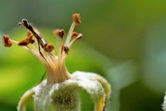 Увяданное цветение яблока Стоковые Изображения RF