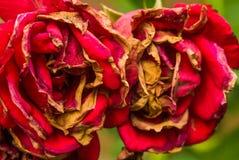 Увяданный коричневый цвет цветения падения осени красных роз старый Стоковые Изображения