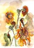 Увядая акварель солнцецветов Стоковые Изображения RF