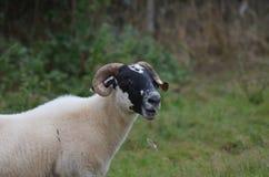 Увлекая Horned овцы на ферме в Ирландии Стоковое Изображение RF