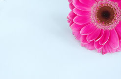 угловойой верхний zinnia Стоковое Изображение RF