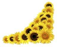 угловойые солнцецветы Стоковые Фотографии RF