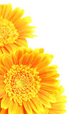 угловойые цветки изолировали белизну Стоковое Фото
