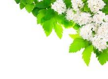 угловые цветки обрамляют горизонтальную белизну Стоковая Фотография RF