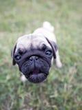 угол mops щенок широко Стоковая Фотография