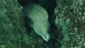 Угорь мурены в подводном коралловом рифе сток-видео