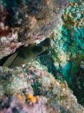Угорь мурены, море cortez, Нижней Калифорнии стоковое изображение