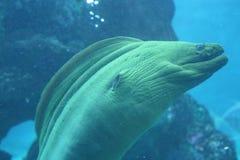 Угорь мурены океана тропическая рыба feedling стоковые изображения