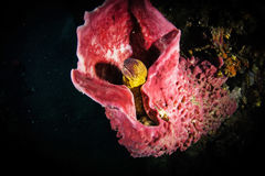 Угорь мурены (Muraenidae) выступая из кораллового рифа Стоковая Фотография RF