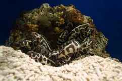 Угри моря Стоковое Изображение