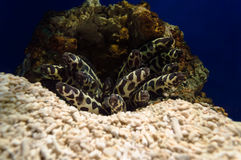 Угри моря Стоковые Изображения RF