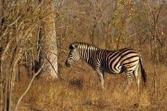 Угрожаемая зебра Equus зебры горы накидки, национальный парк Kruger, Южная Африка Стоковое фото RF