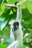Угрожаемая молодая красная обезьяна colobus Piliocolobus, kirkii Procolobus вися на ветви есть лист в деревьях стоковые фото