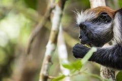 Угрожаемая обезьяна colobus Занзибара красная (kirkii) Procolobus, Joza Стоковые Фото