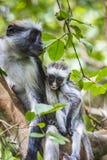 Угрожаемая обезьяна colobus Занзибара красная (kirkii) Procolobus, Joza Стоковая Фотография RF