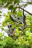 Угрожаемое kirkii Procolobus обезьяны colobus Занзибара красное, Joza Стоковое фото RF