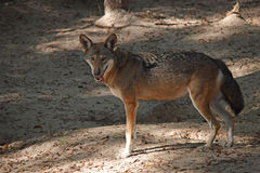 Угрожаемый красный волк Стоковое Изображение