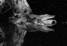 Угрожающий в болотистых низменностях стоковая фотография rf