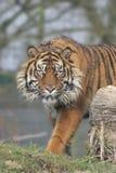 угрожающий тигр Стоковые Фото