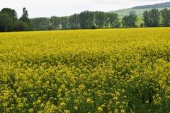 луг Коул-семени Стоковые Фотографии RF