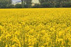 луг Коул-семени Стоковое фото RF
